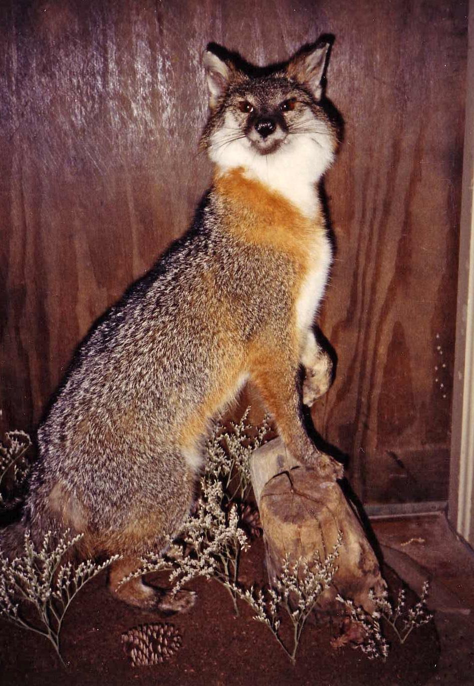 fox_2.JPG