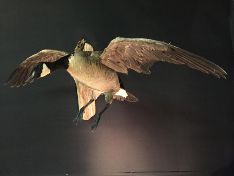Canadian Goose_Landing