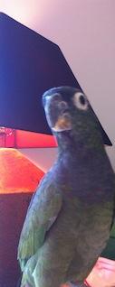 Albert, a Pionus parrot.