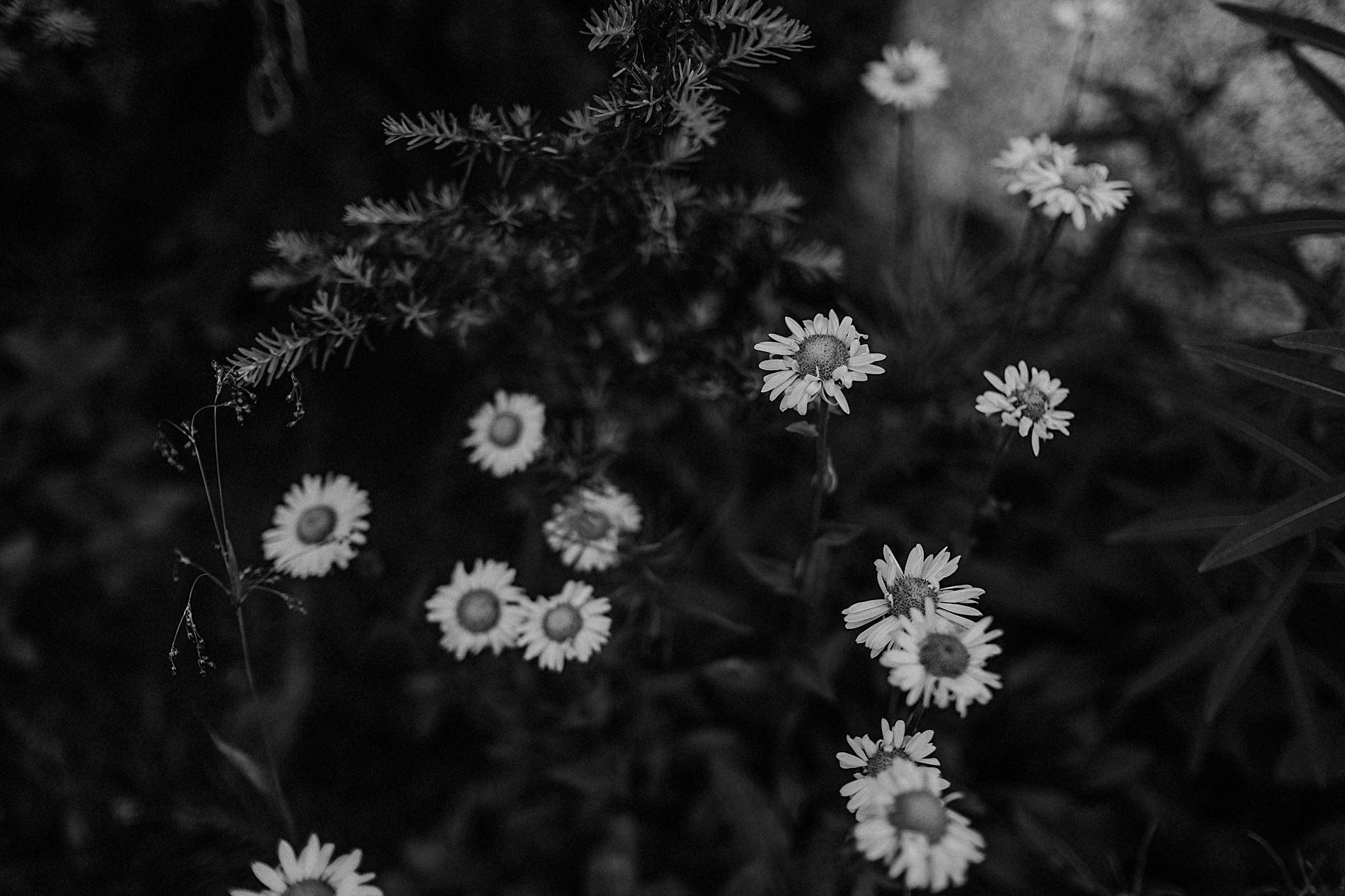 black and white daisy photo
