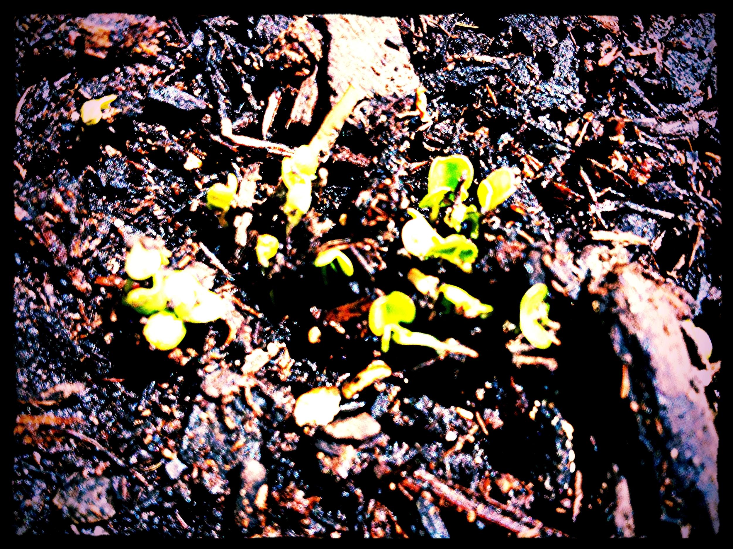Radish sprouts.