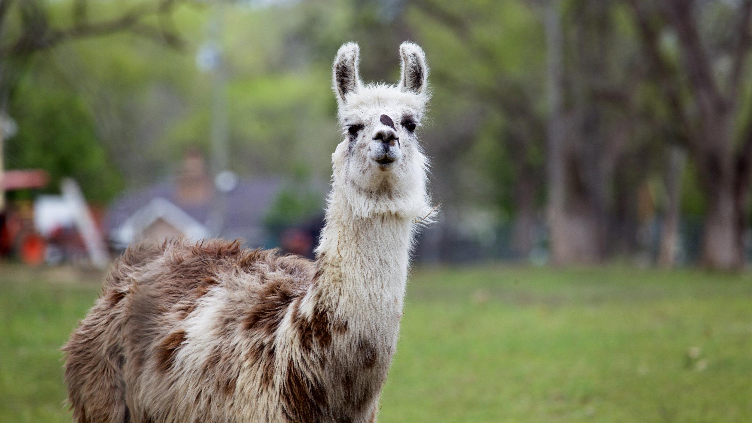 Llama4.jpg