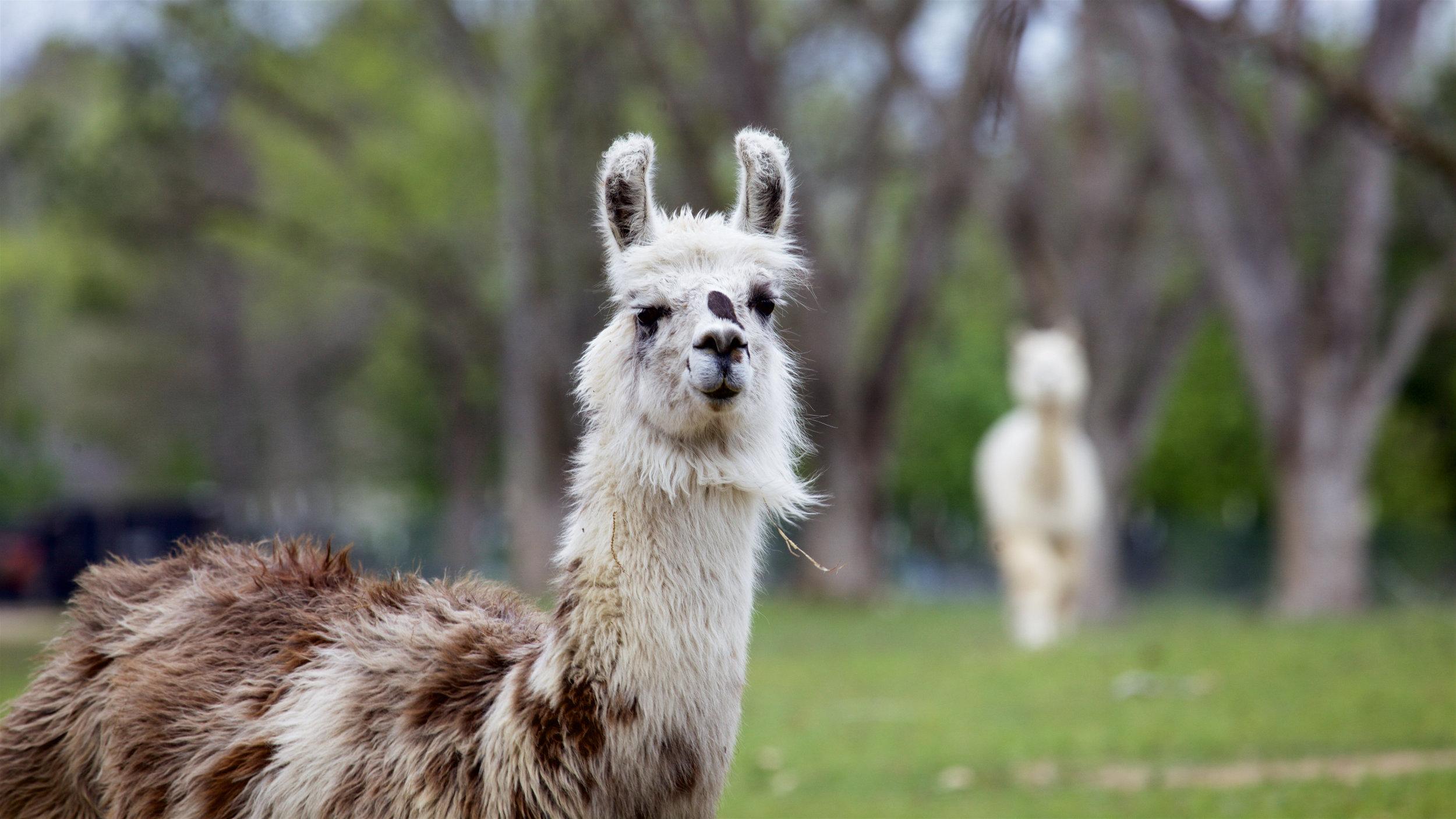 Llama5.jpg