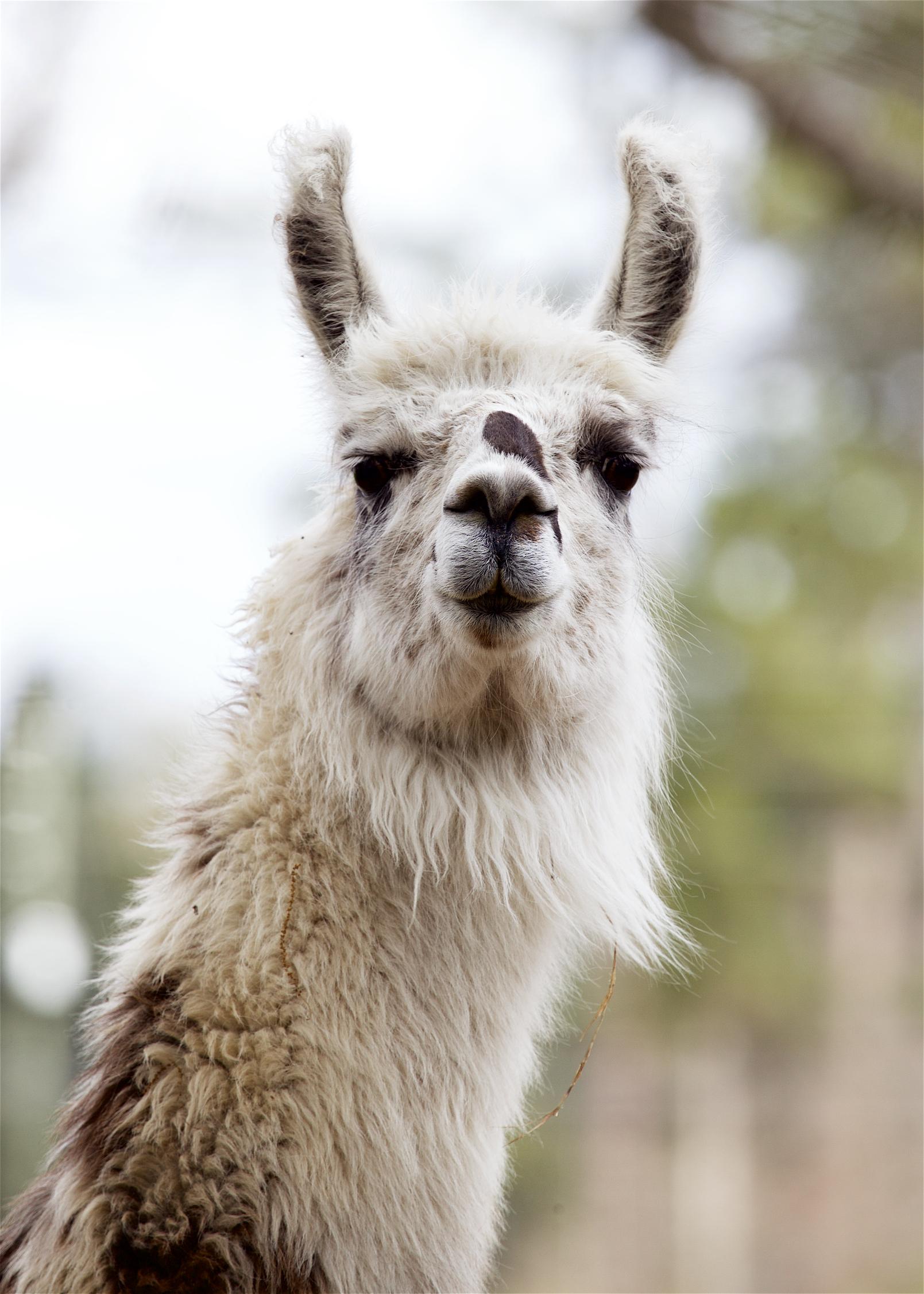 Llama10.jpg