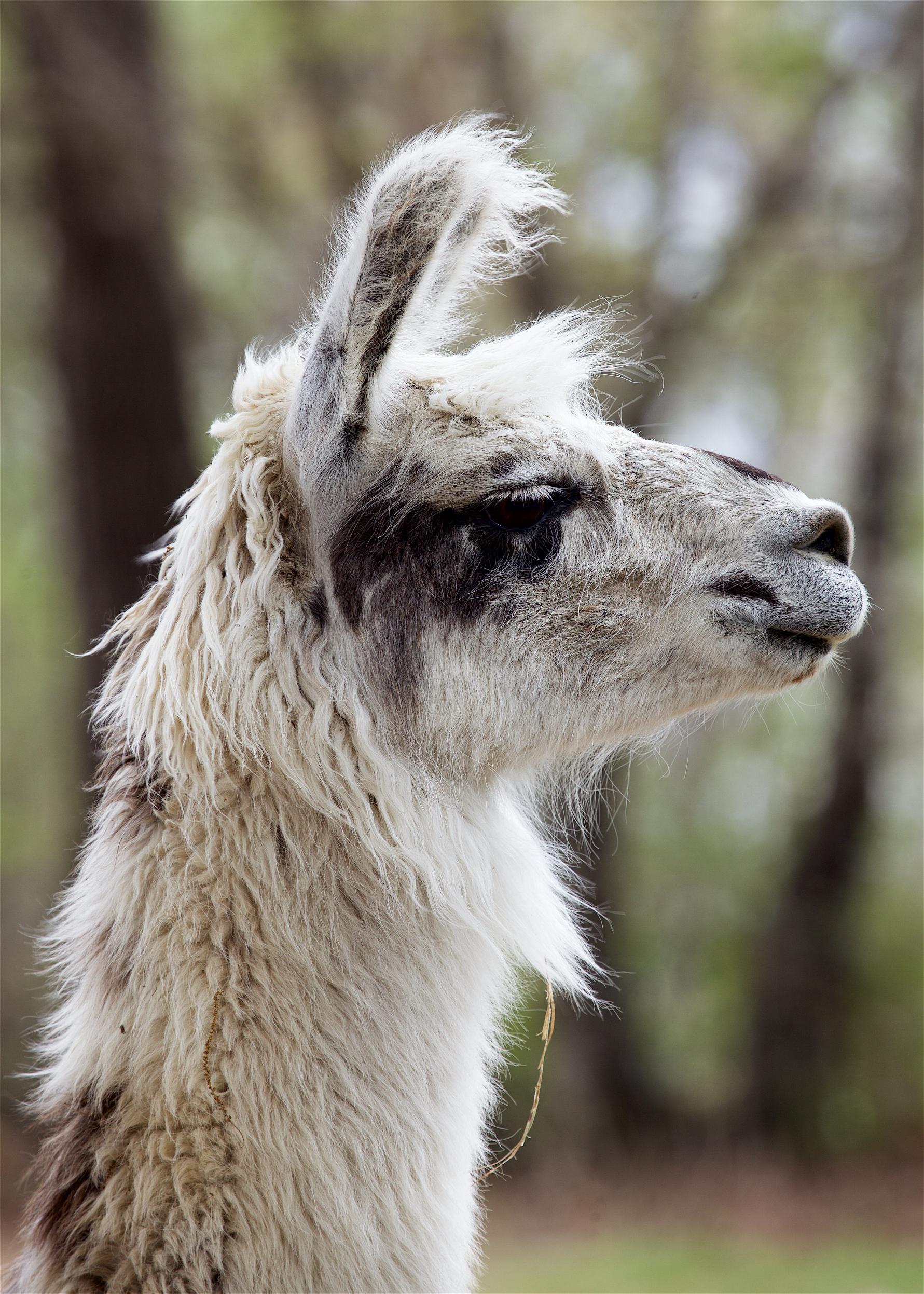 Llama16.jpg