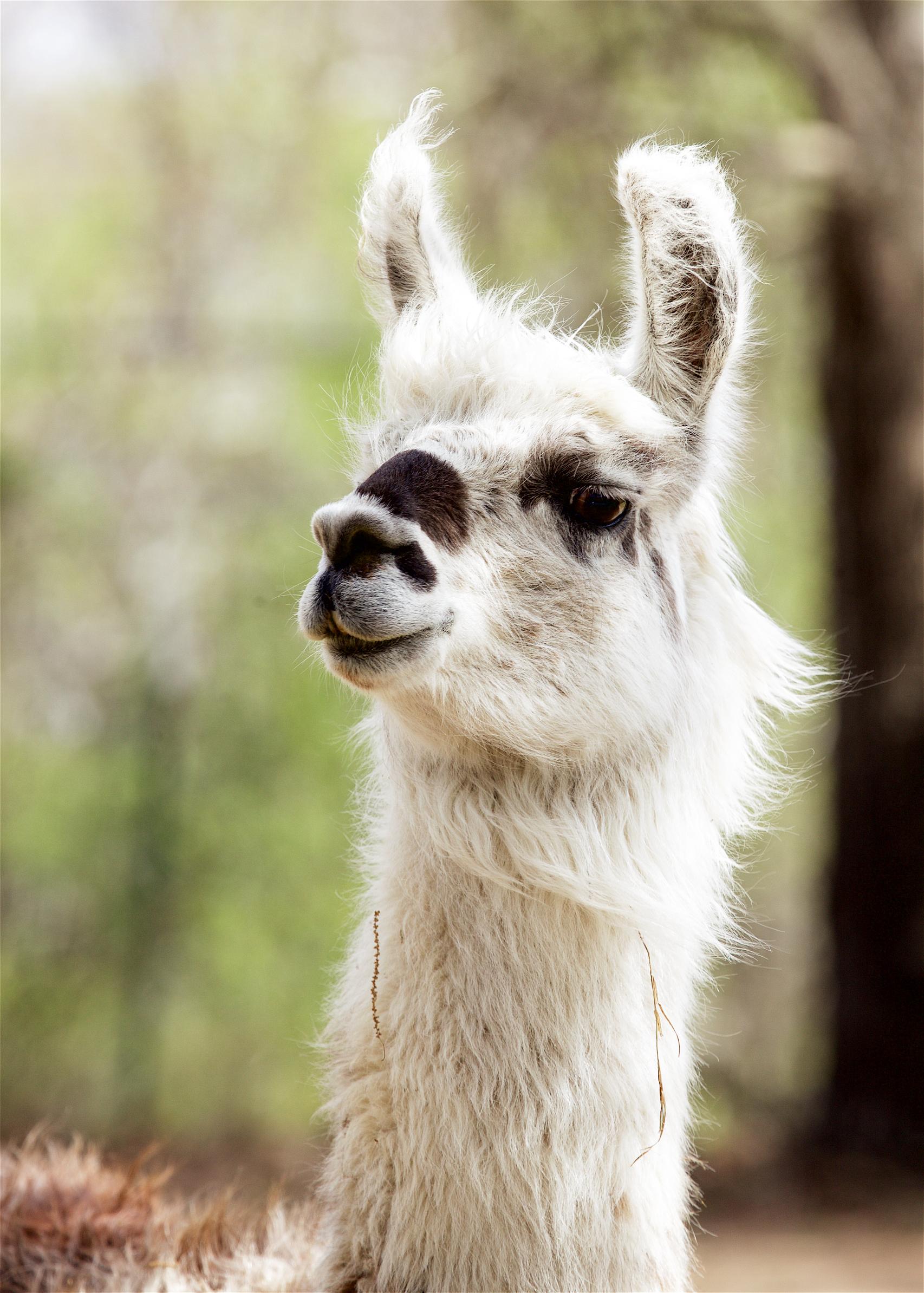 Llama21.jpg