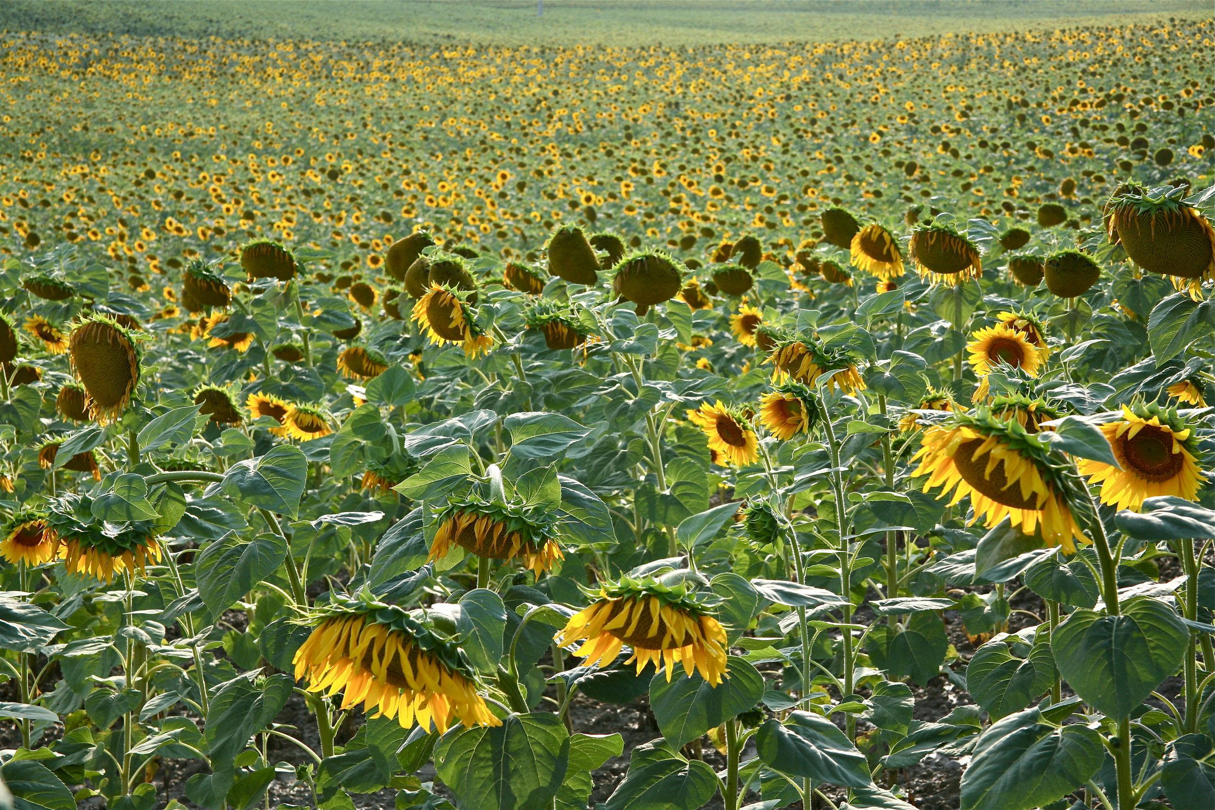 Sunflowers, Siena, Tuscany