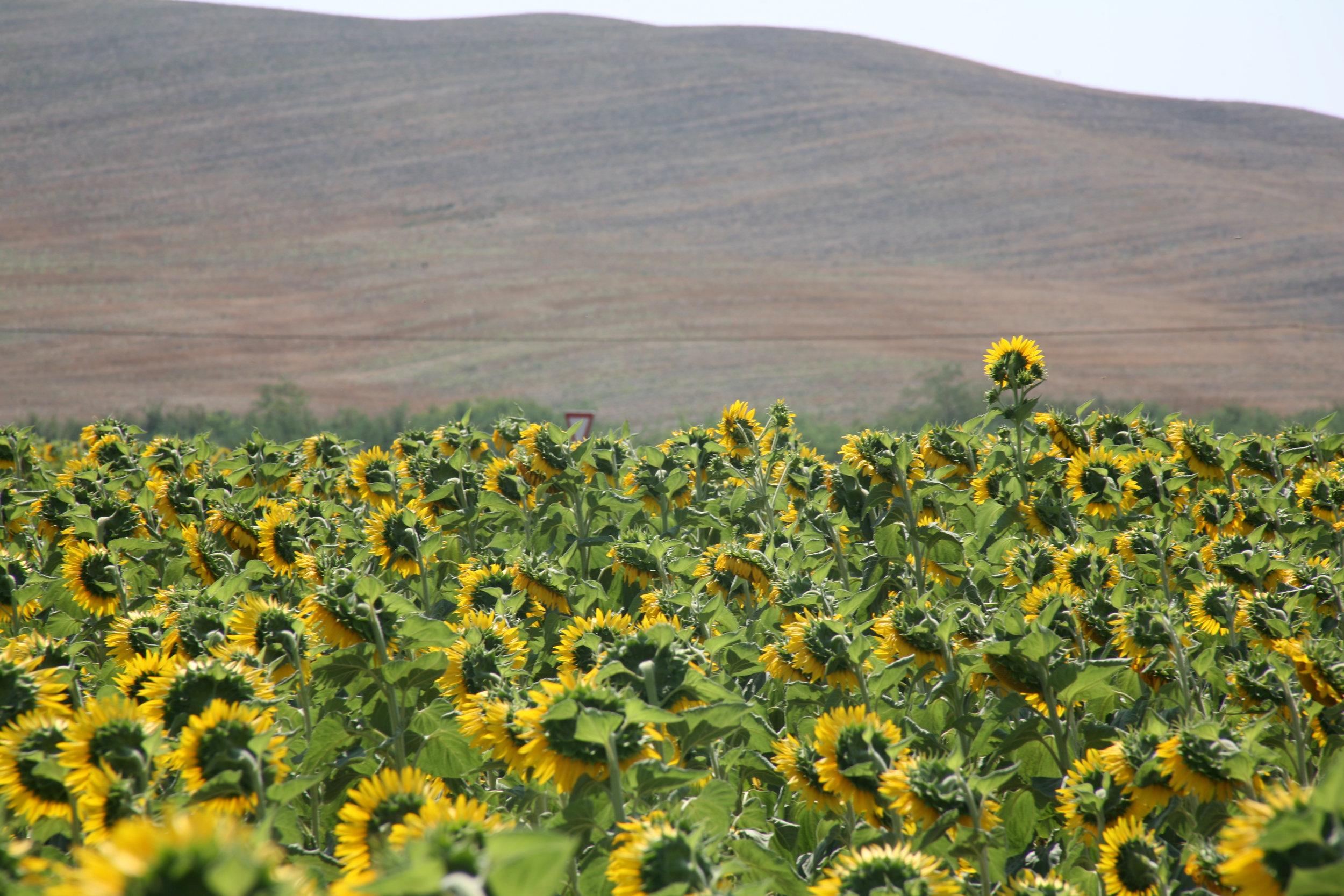 Sunflowers, Siena, Toscana