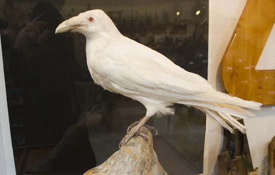 An Albino raven.