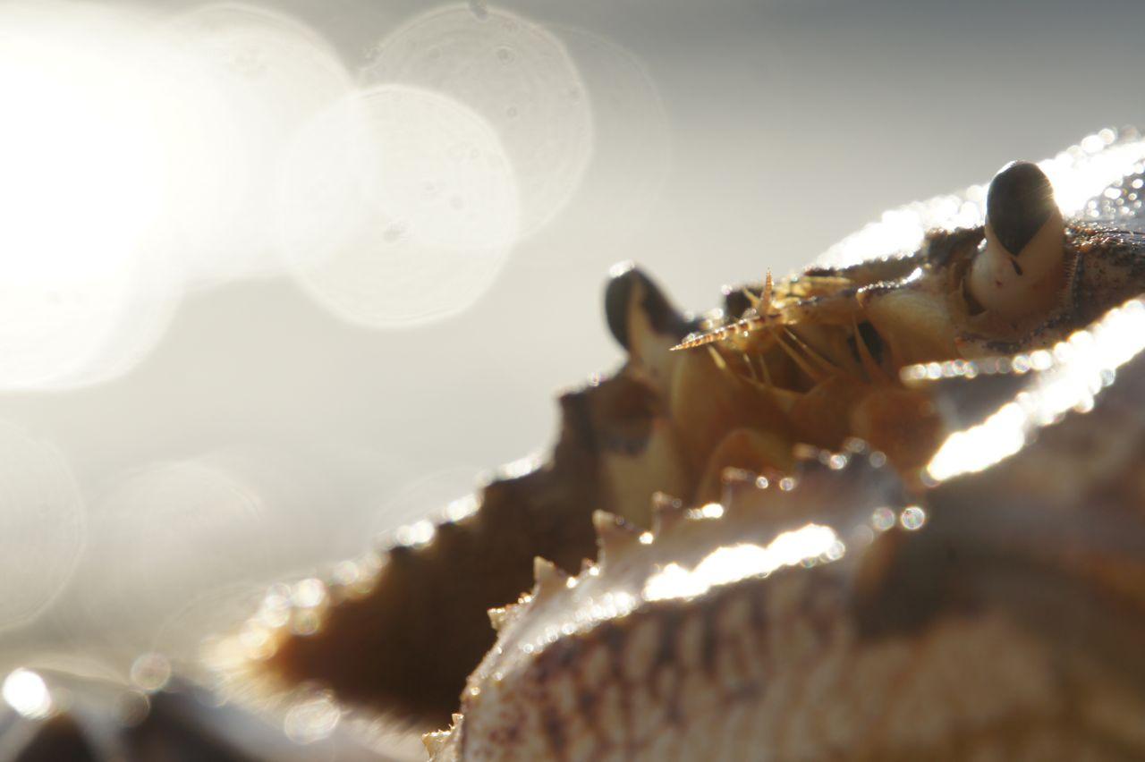 Dungeness Crab ( Metacarcinus magisterand).