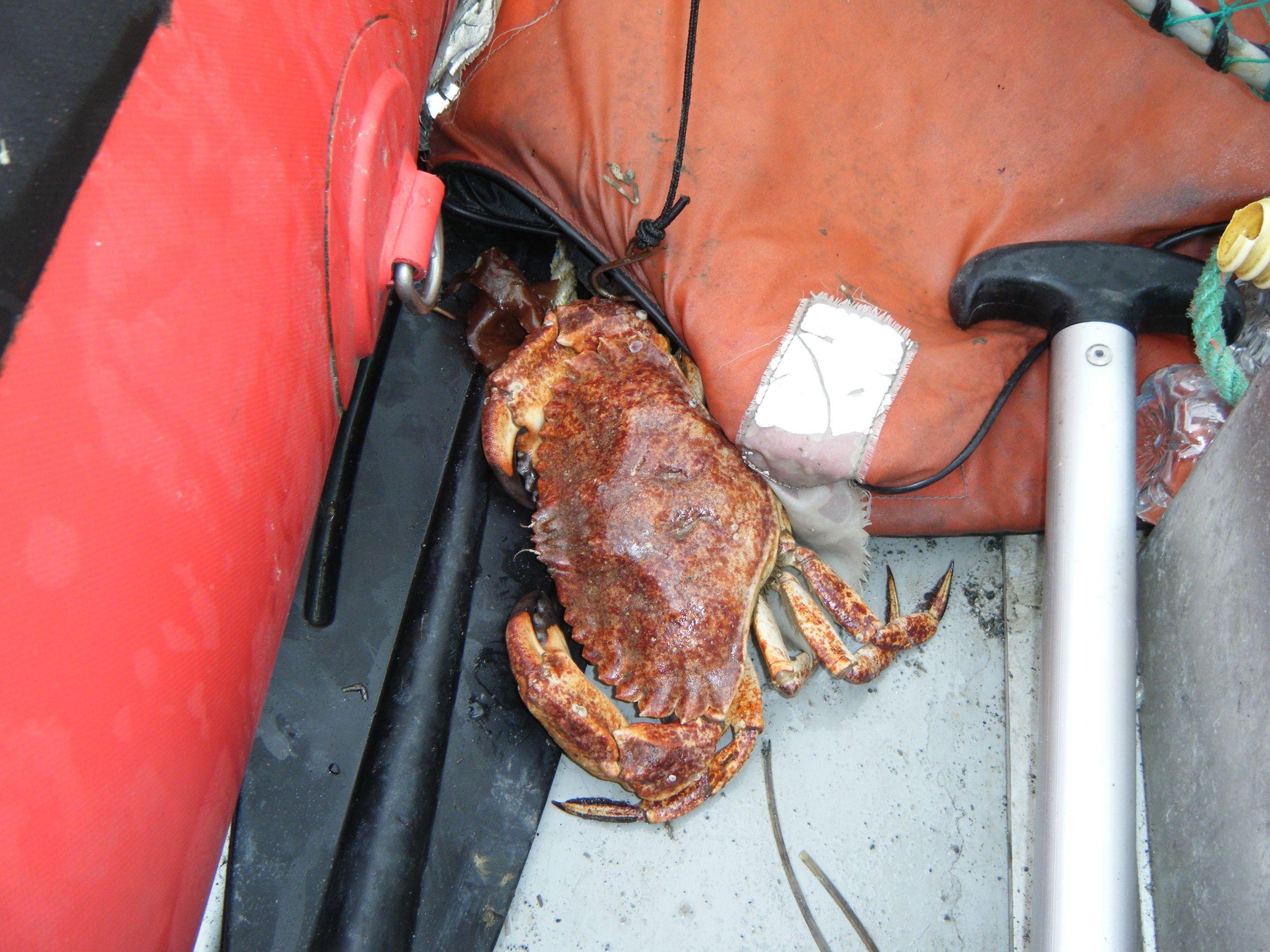 A not so happy North AmericanRed Rock Crab.