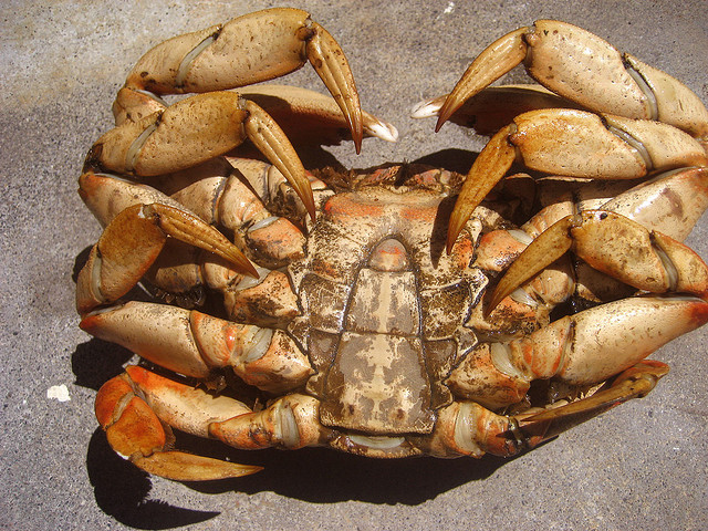 Male Dungeness Crab.