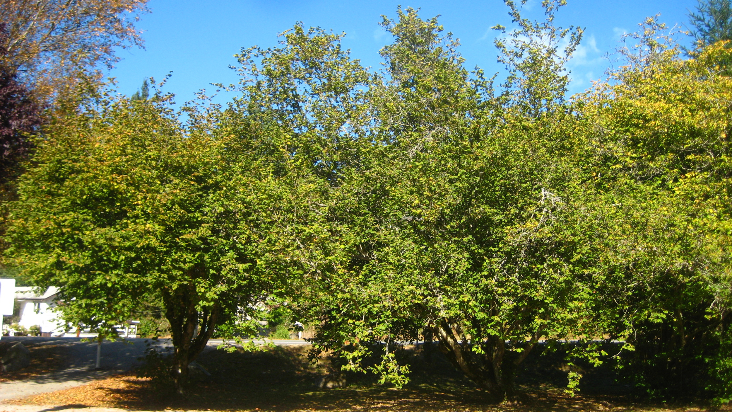 Hazel nut trees.