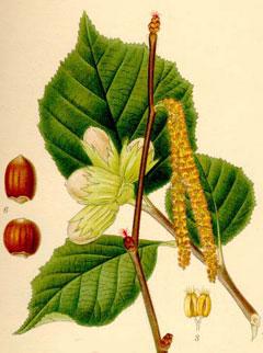 Corylus avellana.