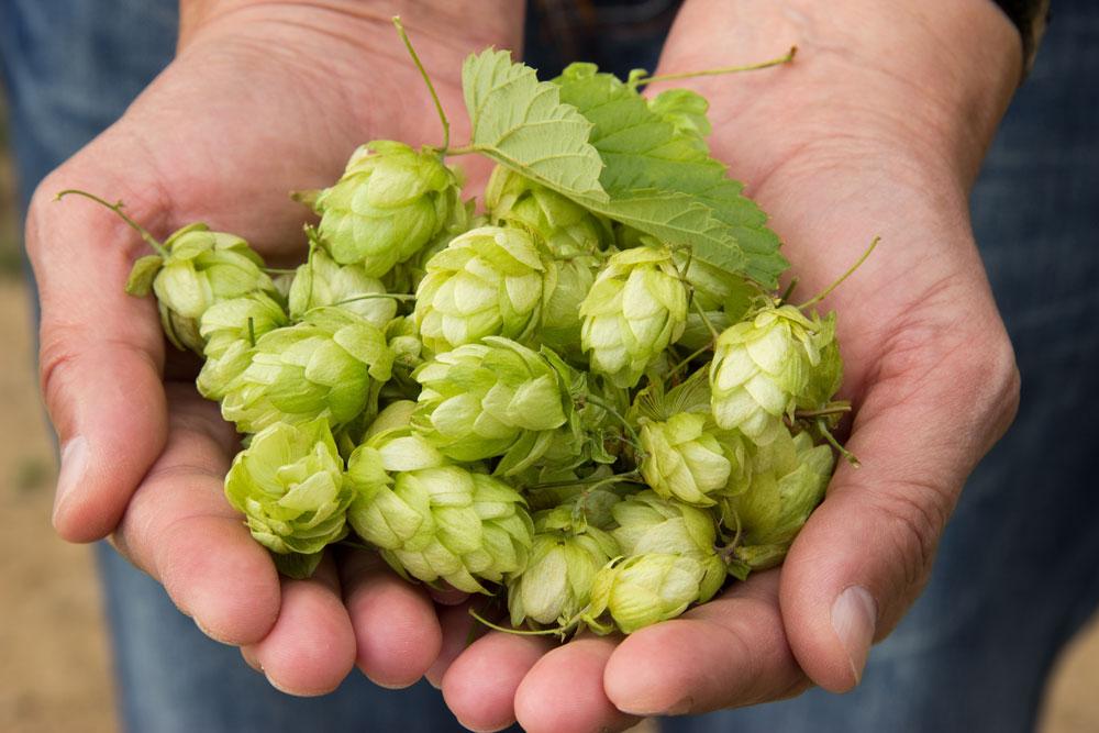 hops-hand.jpg