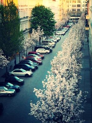 Spring Cherry Blossoms in Lottum Strasse, Berlin