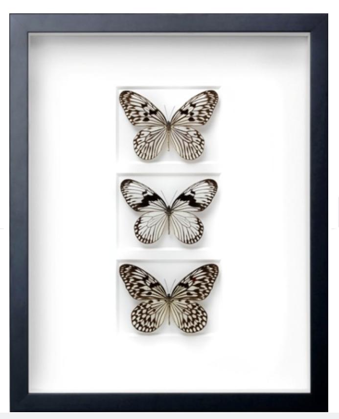 Chalk Ricepaper Butterfly Study   16×20   PESGL52