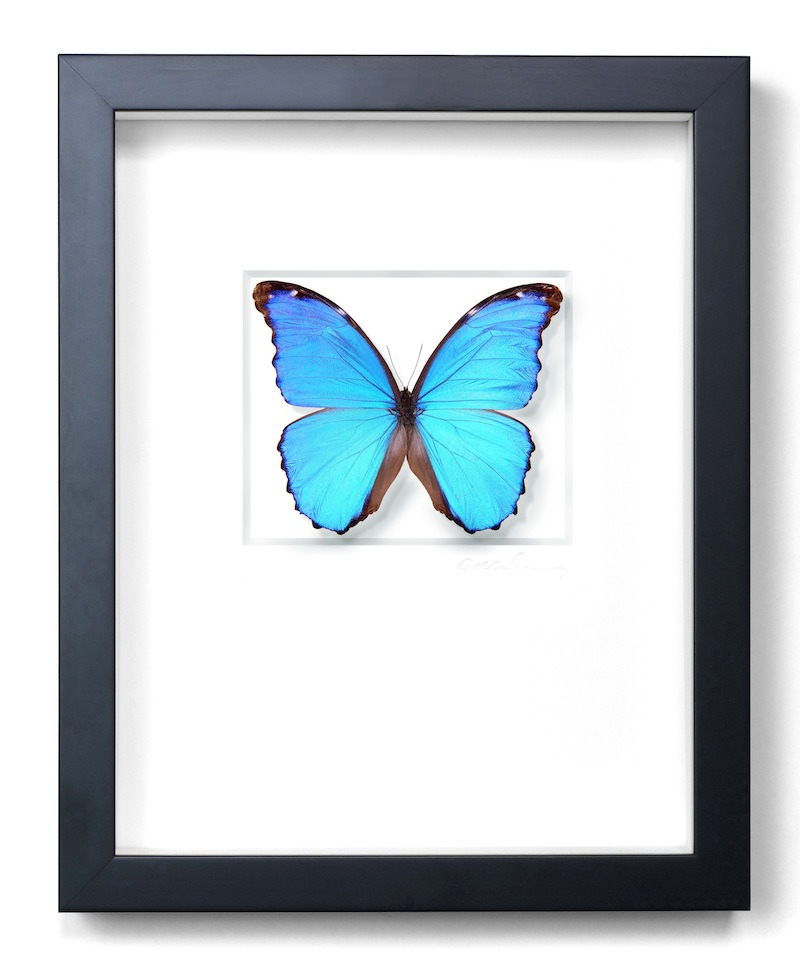 "Morpho Didius, Black Frame,   11×14""h   PESL17"