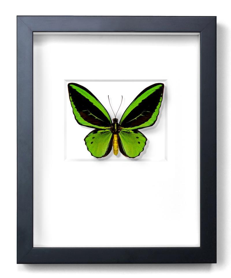 Green Cairns Birdwing Butterfly, New Guinea, Black Frame,   11×14   PESL4