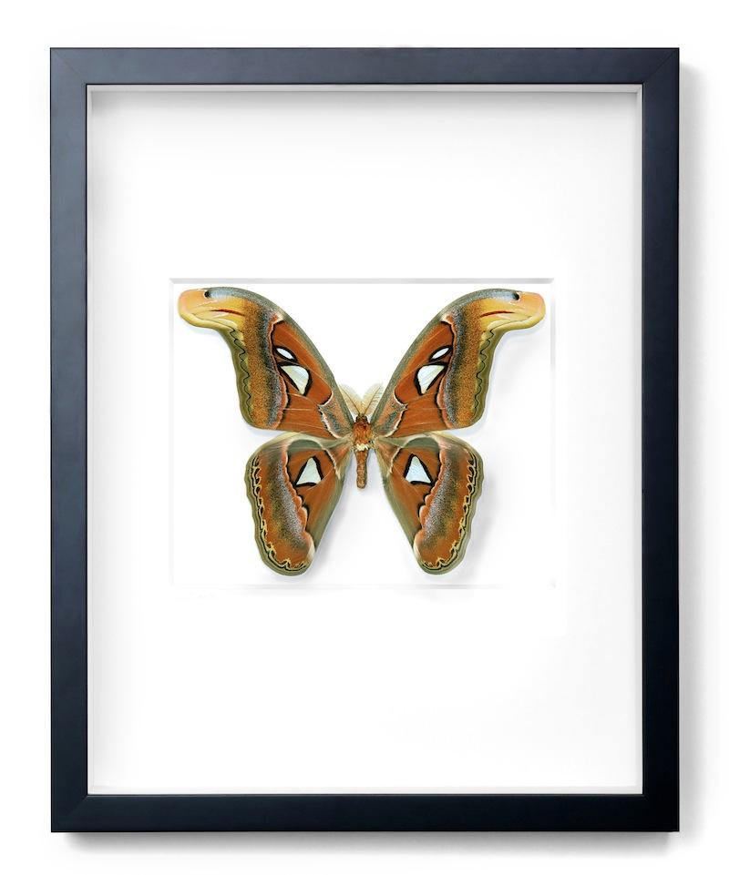"""Atlas Moth, Black Frame,   16×20""""h   PESL23"""