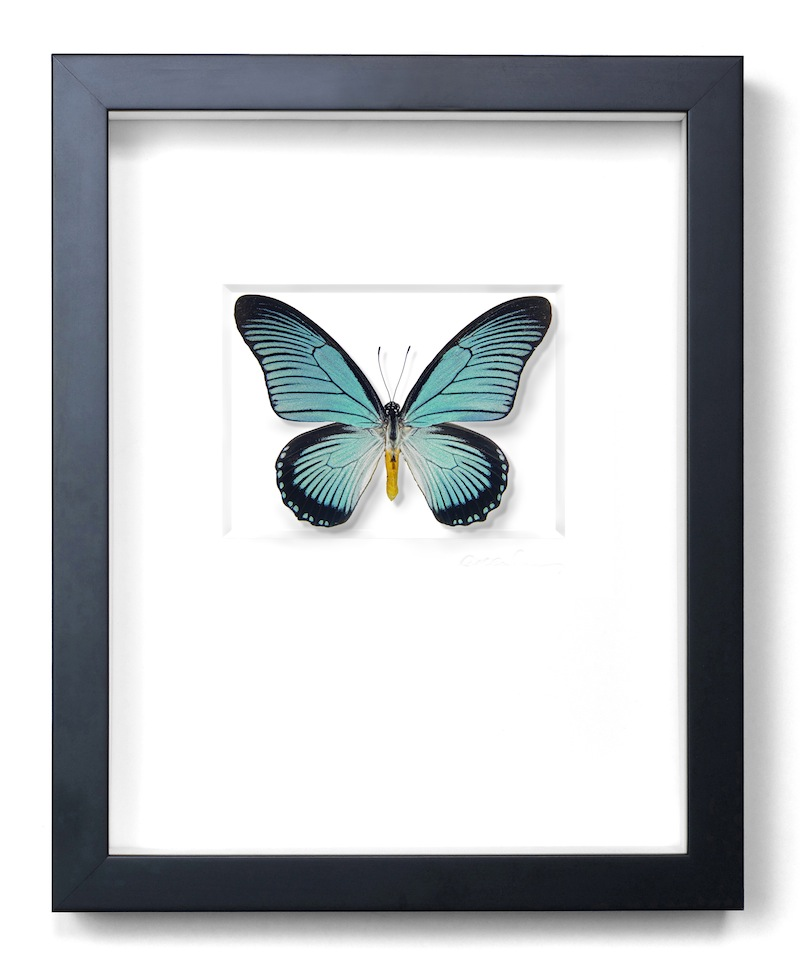 African Blue Swallowtail Butterfly, Central Africa, Black Frame,   11×14   PESL8