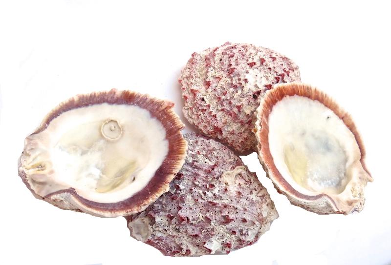 "Rock Spondylus Half Shell (Spondylus Calcifer)  4-5""  T740, T950"