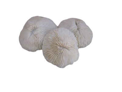 """Mushroom Coral 3""""-12"""""""