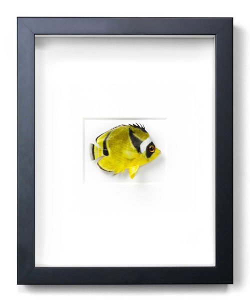 Lunulue Butterfly Fish  11x14  PERF30