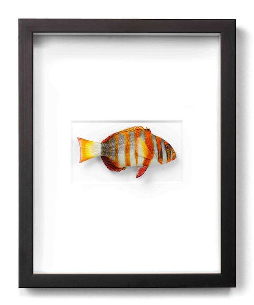 Tusk Fish  11x14  PERF11