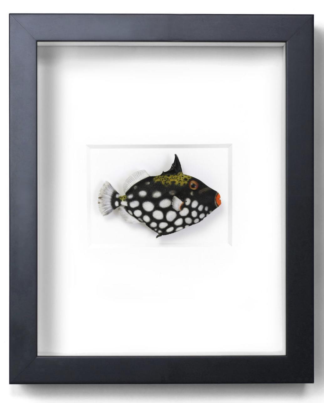Clown Trigger Fish   11x14  PERF44