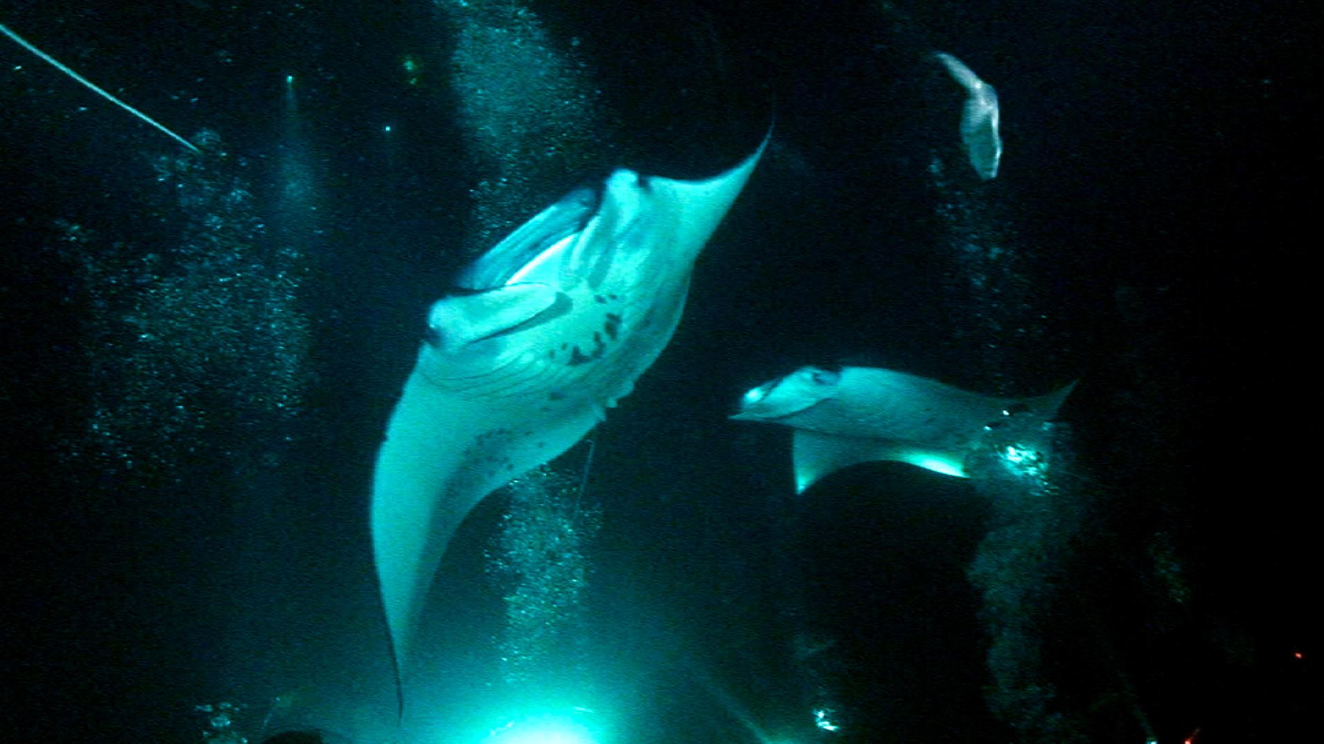 Manta Ray Night Dive -- Kona, Hawaii with Jack's Diving Locker