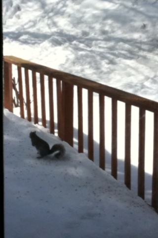 Squirrel buddy is back for lunch today! Yummy treats on the snow!