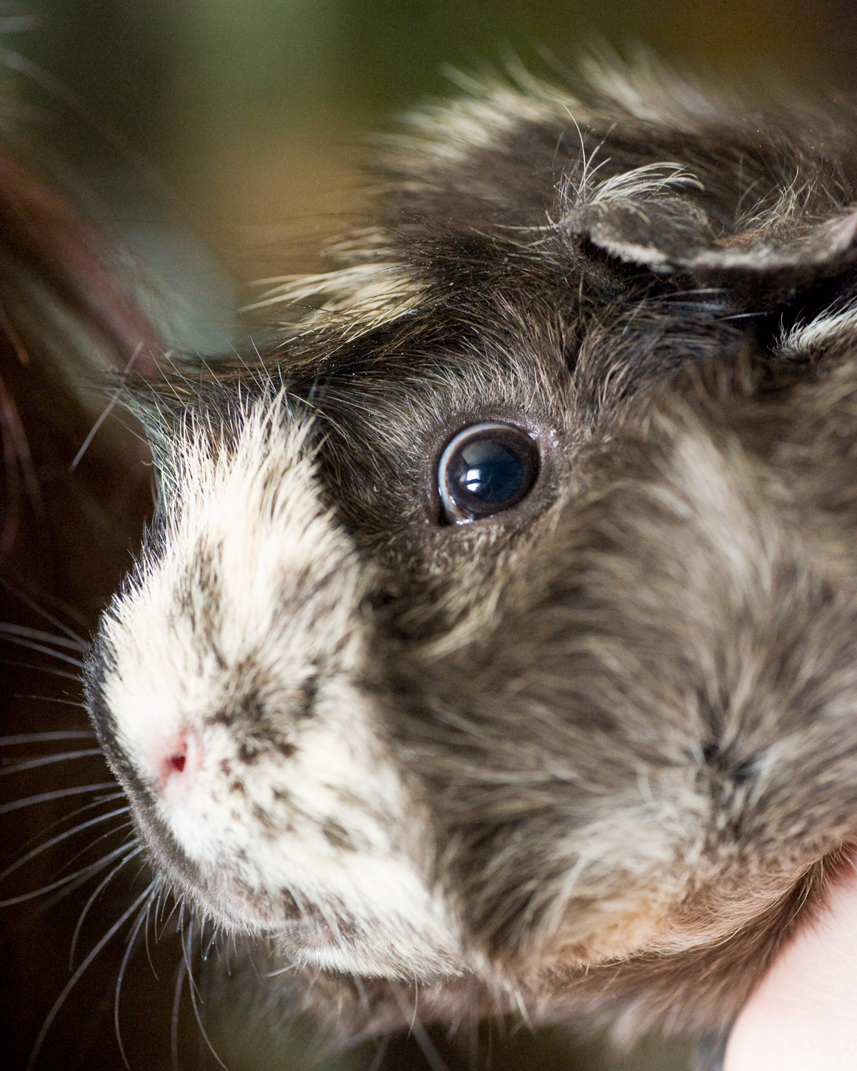 Twisty the guinea pig
