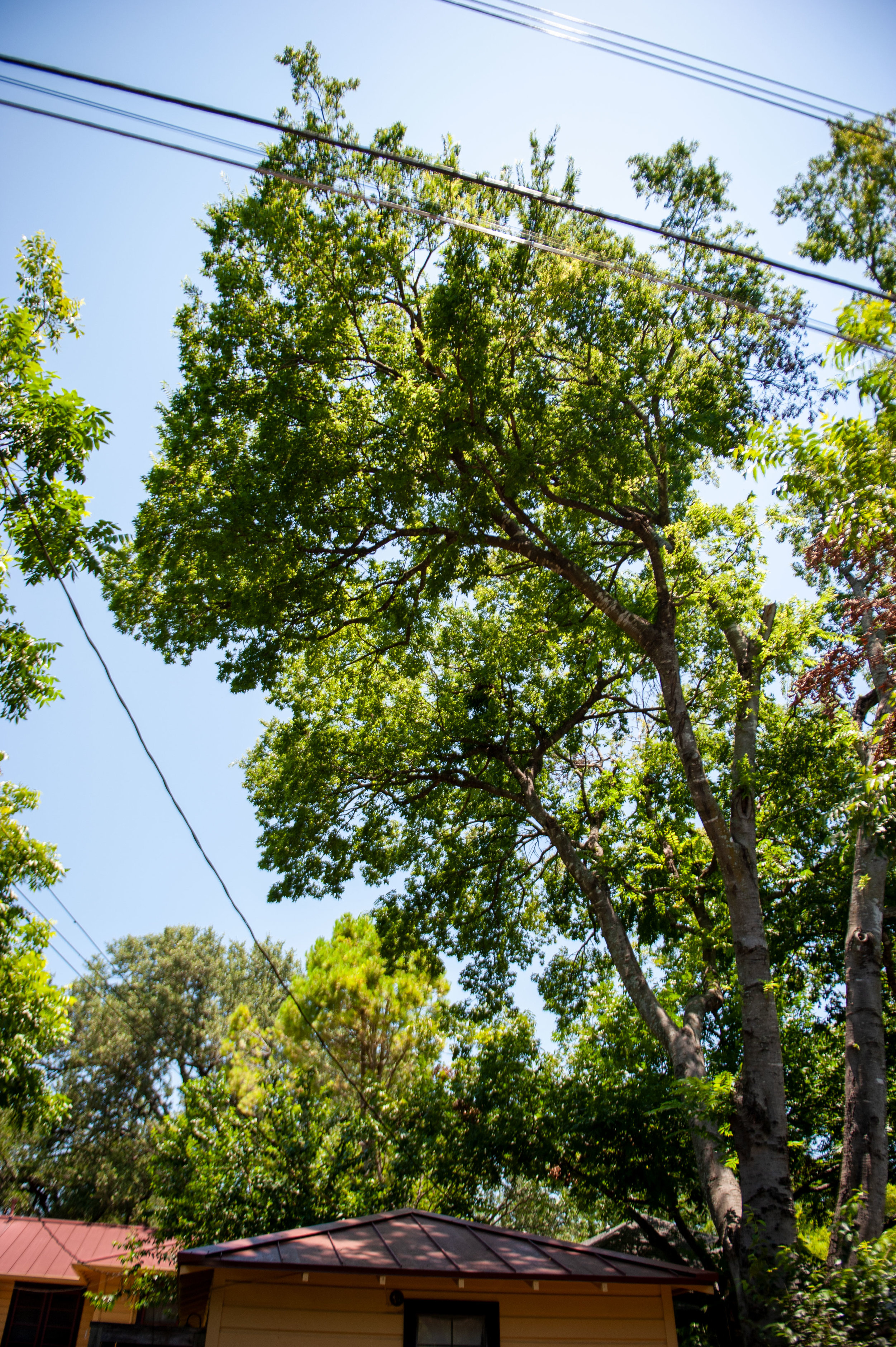 View: Hackberry tree | From: Back driveway