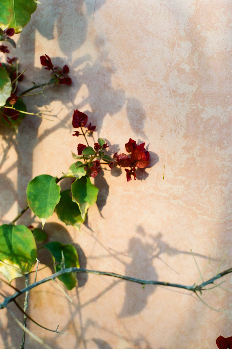 Red Flower and Vine on Wall at Dawn_Riad Jardin_web.jpg