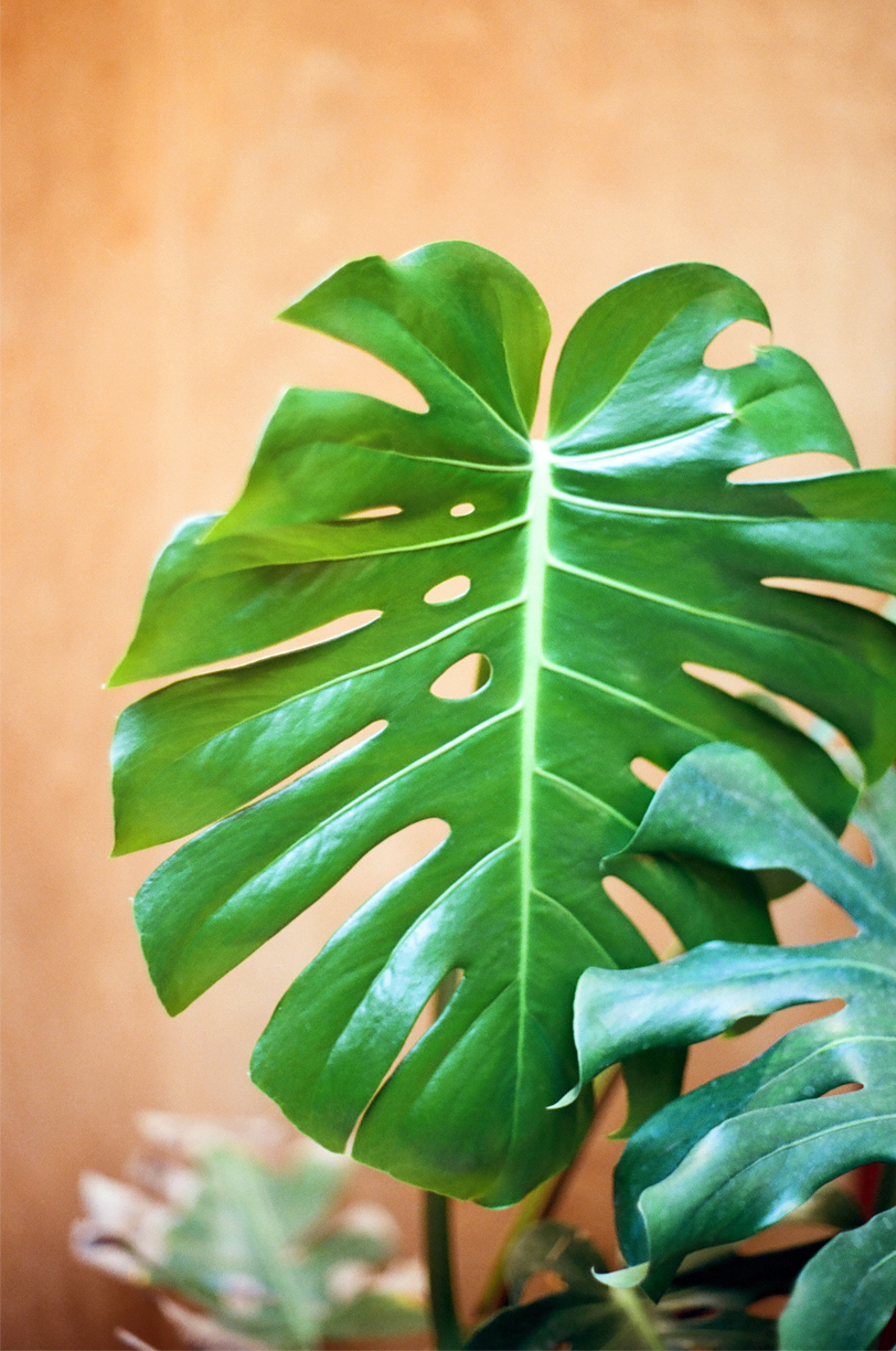 Monstera Plant at Riad Jardin_web.jpg
