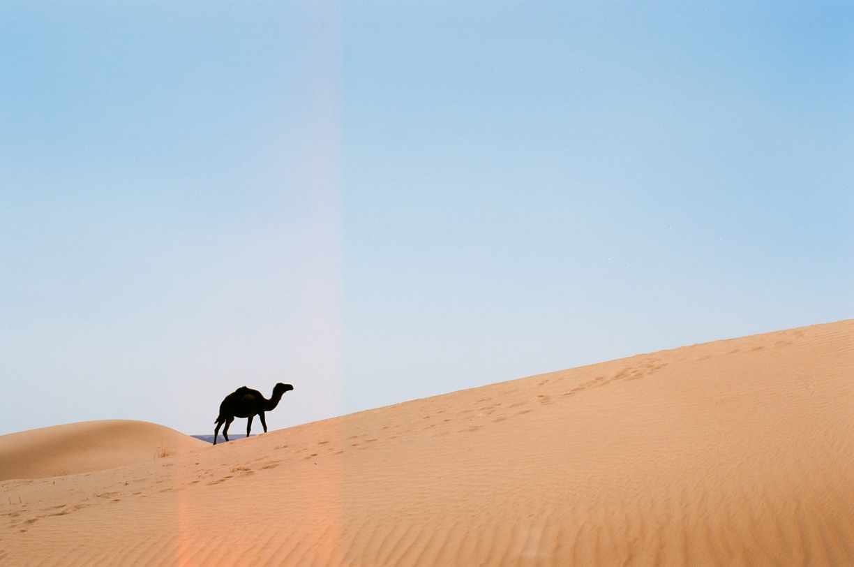 Wild Camel Silhouette Going Behind Dune_Light Leak_web.jpg