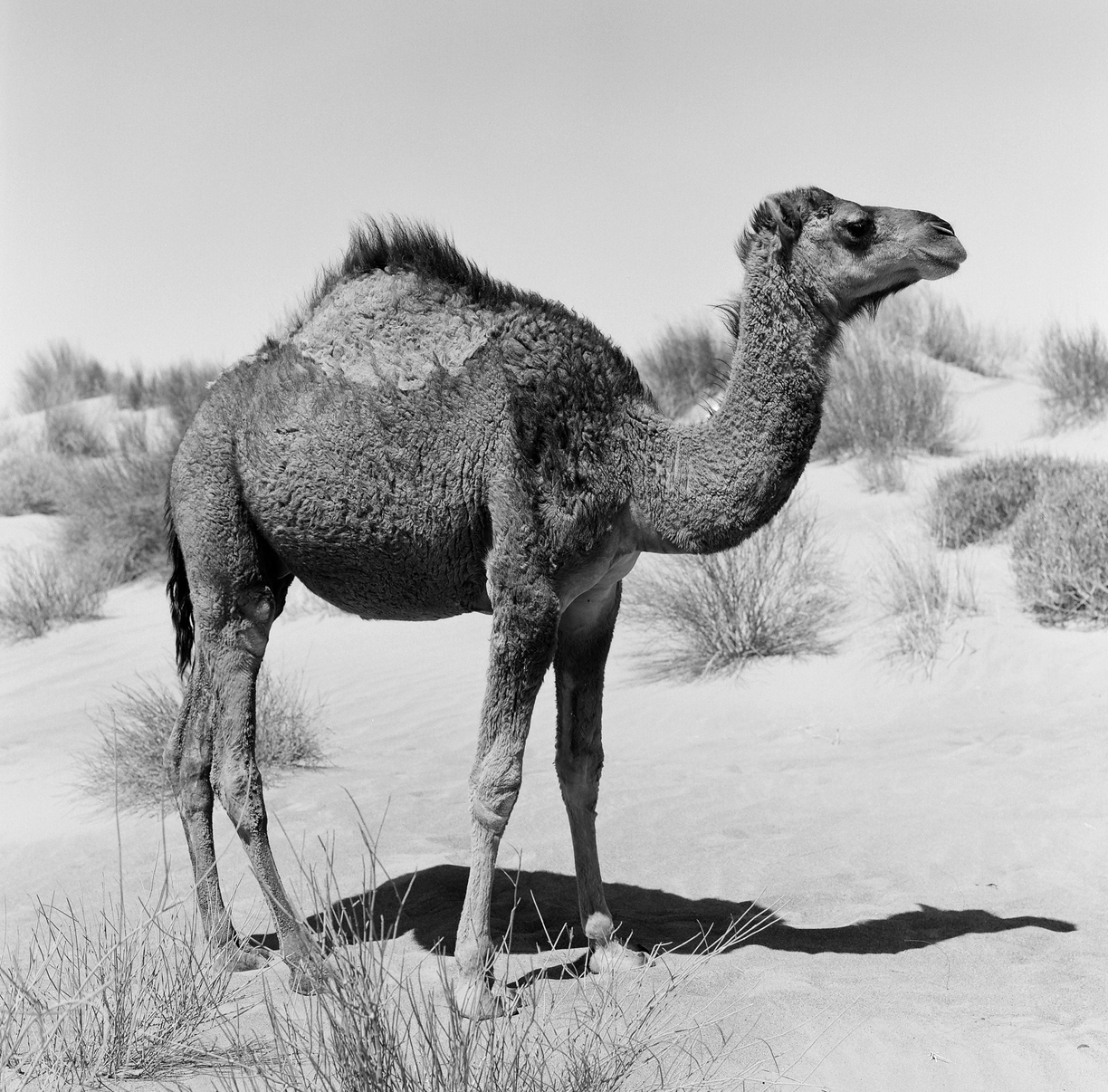 Wild Camel with Hairy Hump_web.jpg