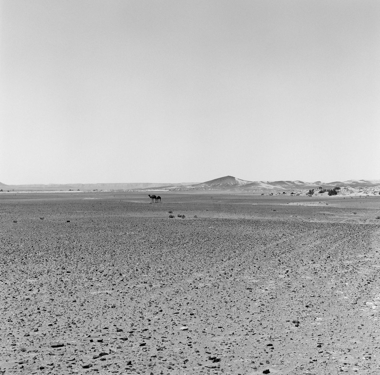 Black Rock Desert Ground and 2 Camels_Sahara_web.jpg