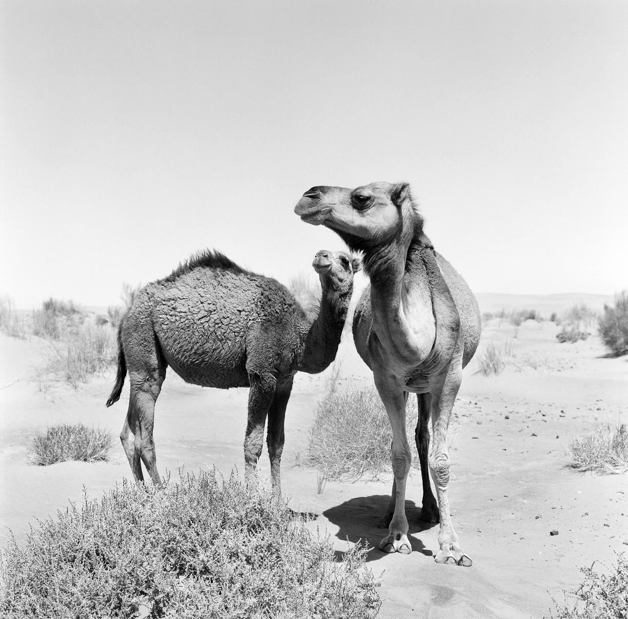 Two Wild Camels in Sahara Desert_web.jpg