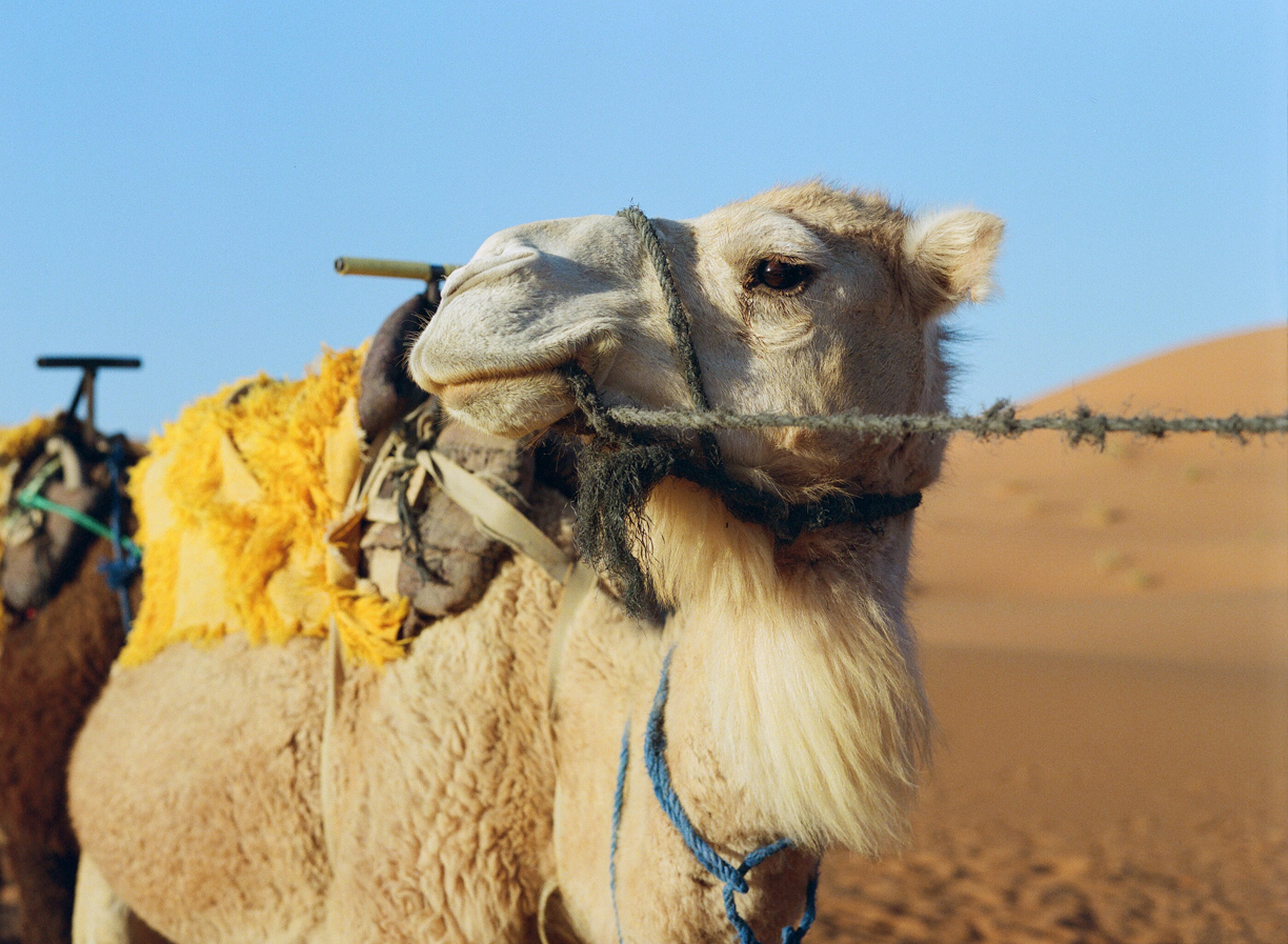White Camel Looking to Side_Dusk_Sahara_web.jpg