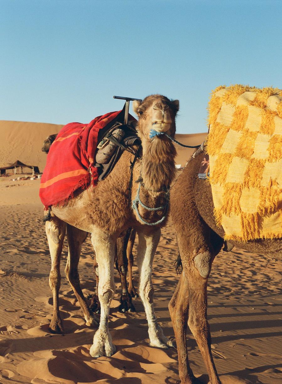 Angry Snarl Camel at Dusk_web.jpg
