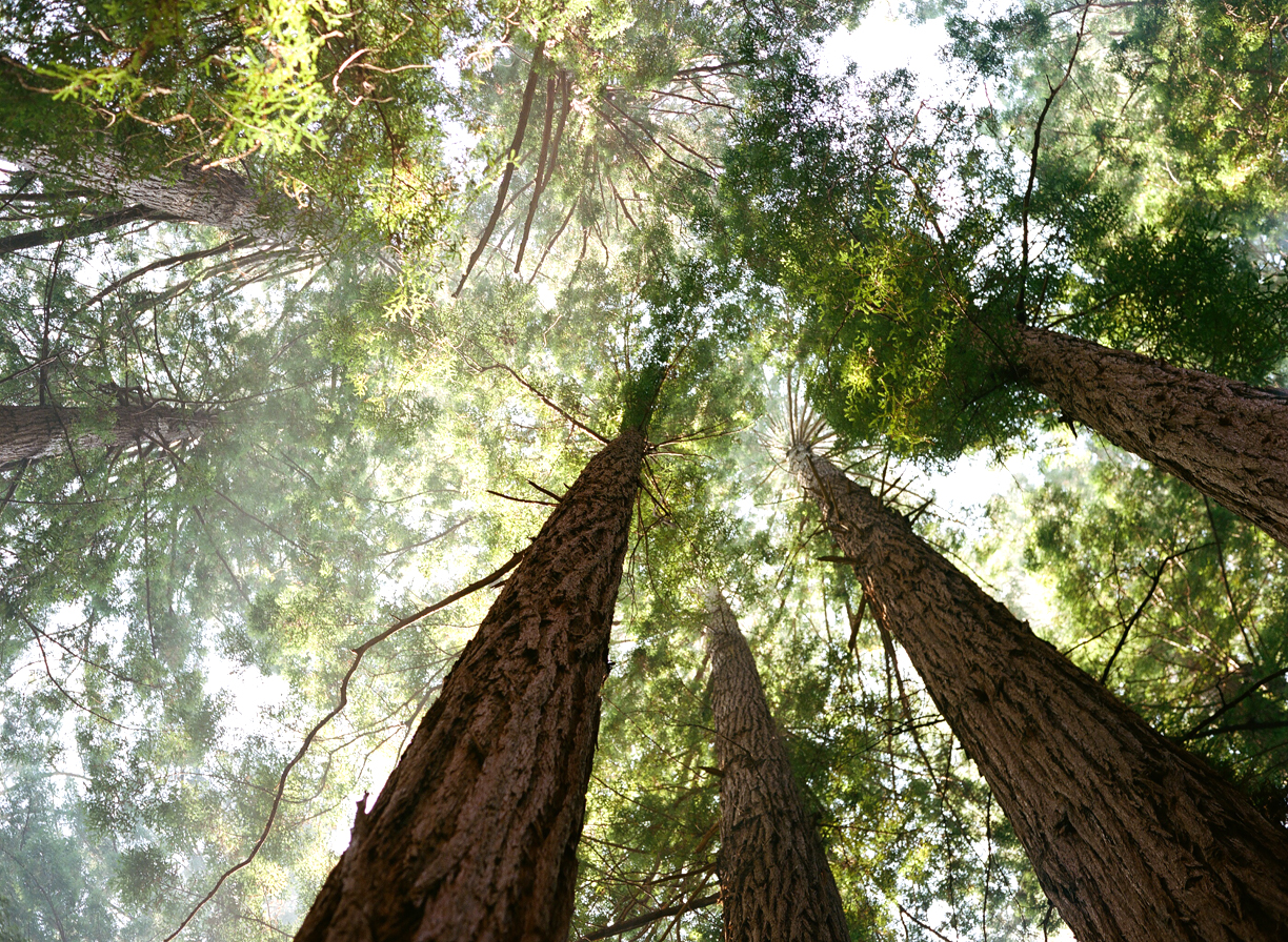 Looking Up at Muir Woods_web.jpg