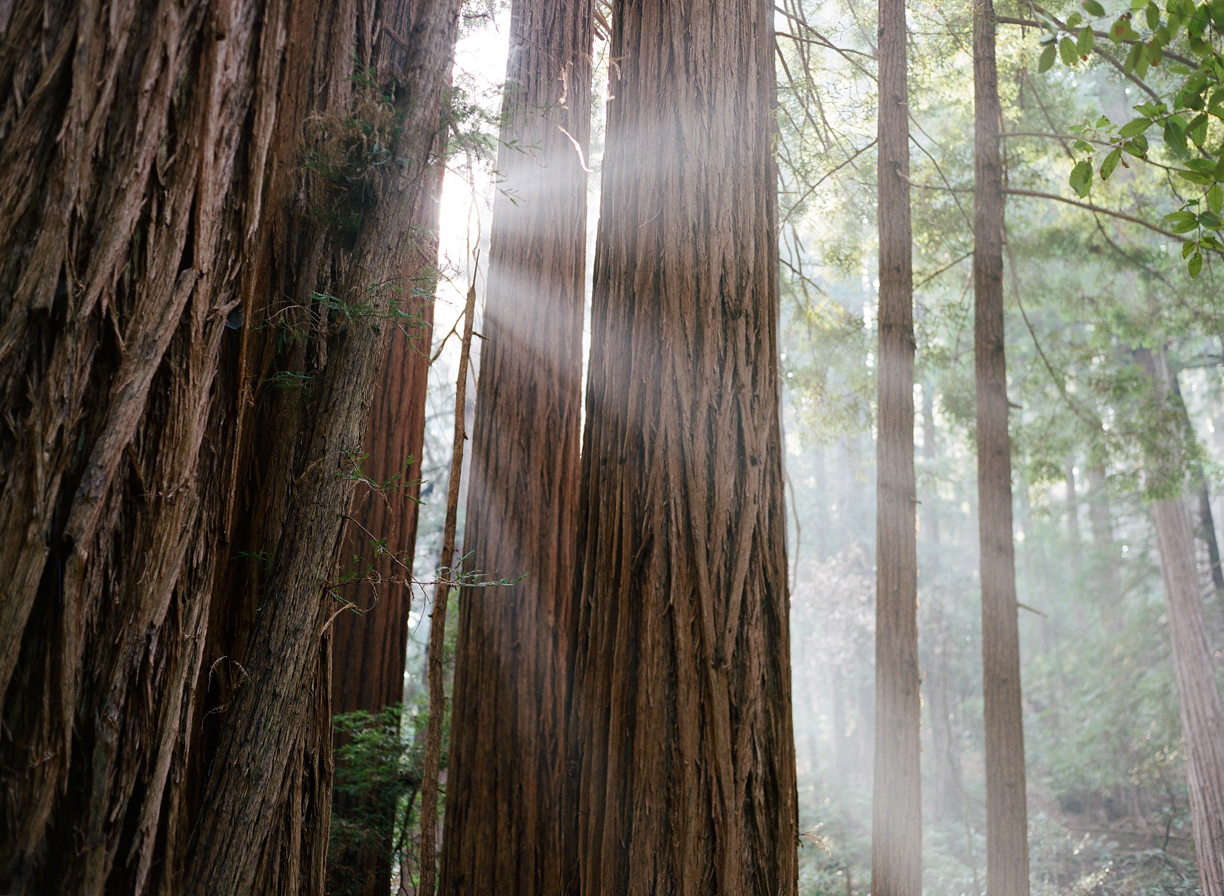 Light Rays behind Redwoods_horizontal Muir Woods_web.jpg