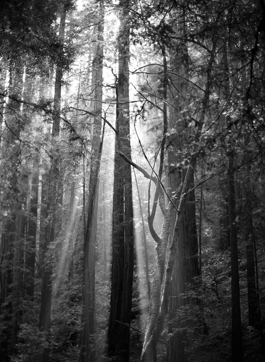 Ray of Light Behind Redwood Tree_Spilt_B&W_web.jpg