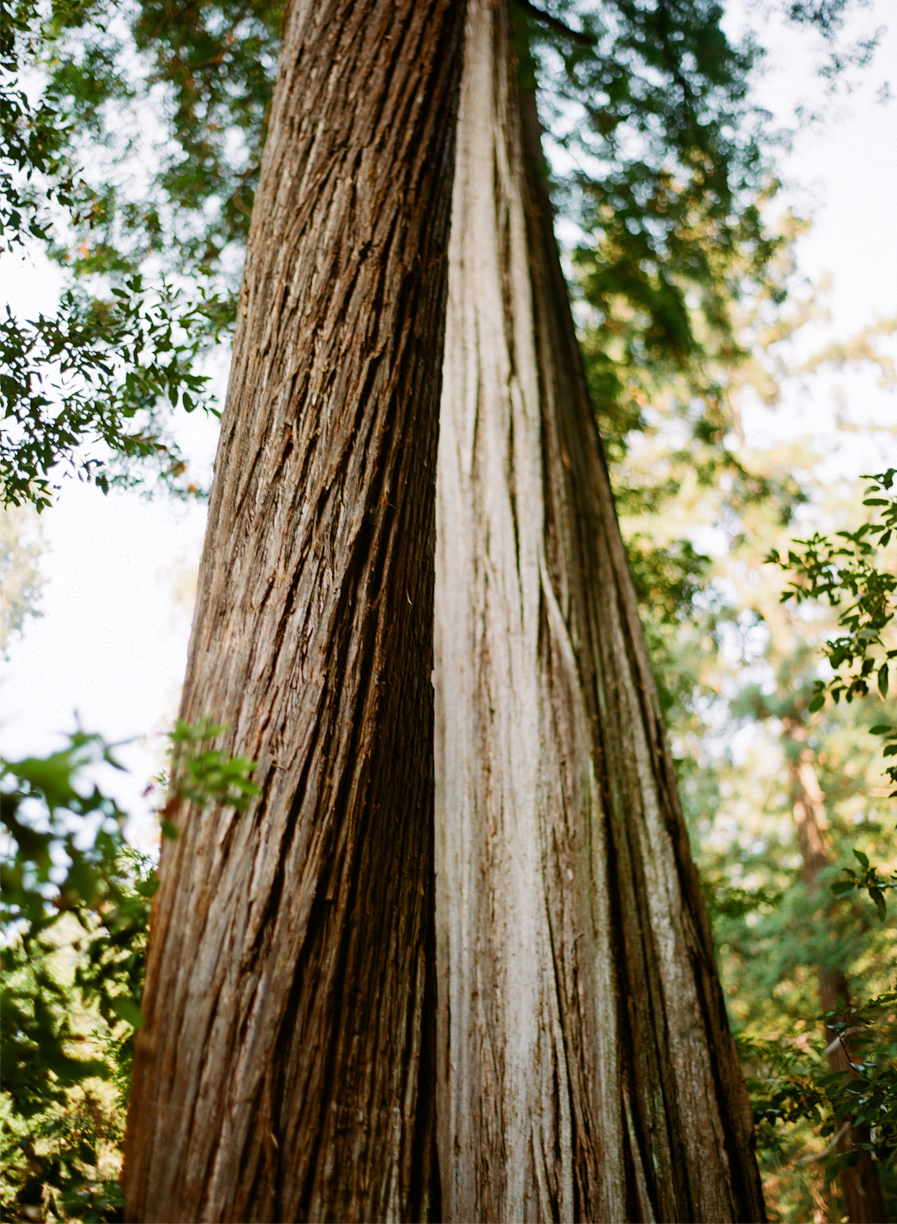 Redwood Bark_Hollowed Inside_Looking Up_web.jpg