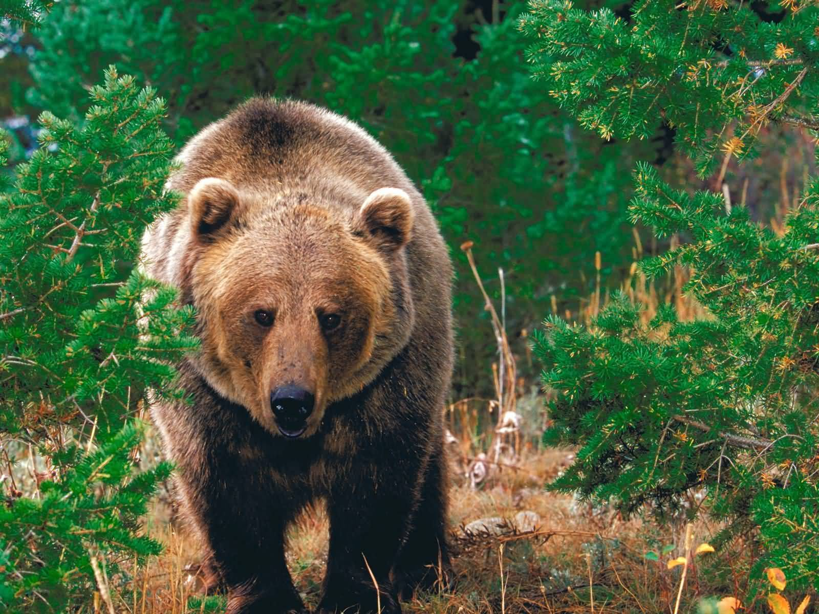 Forest_Wild_Grizzly_Bear-1600x1200.jpg