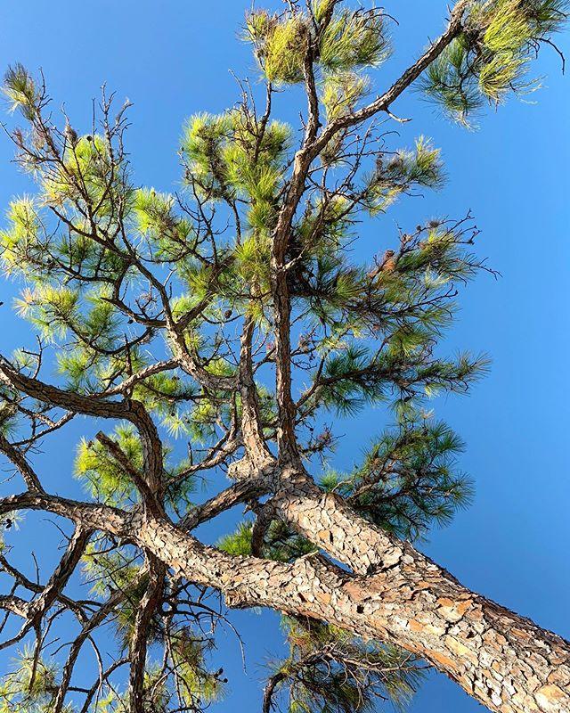 #pinella|s #pinetree