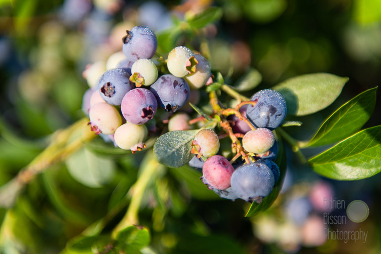 Farmer Dave's blueberry crop