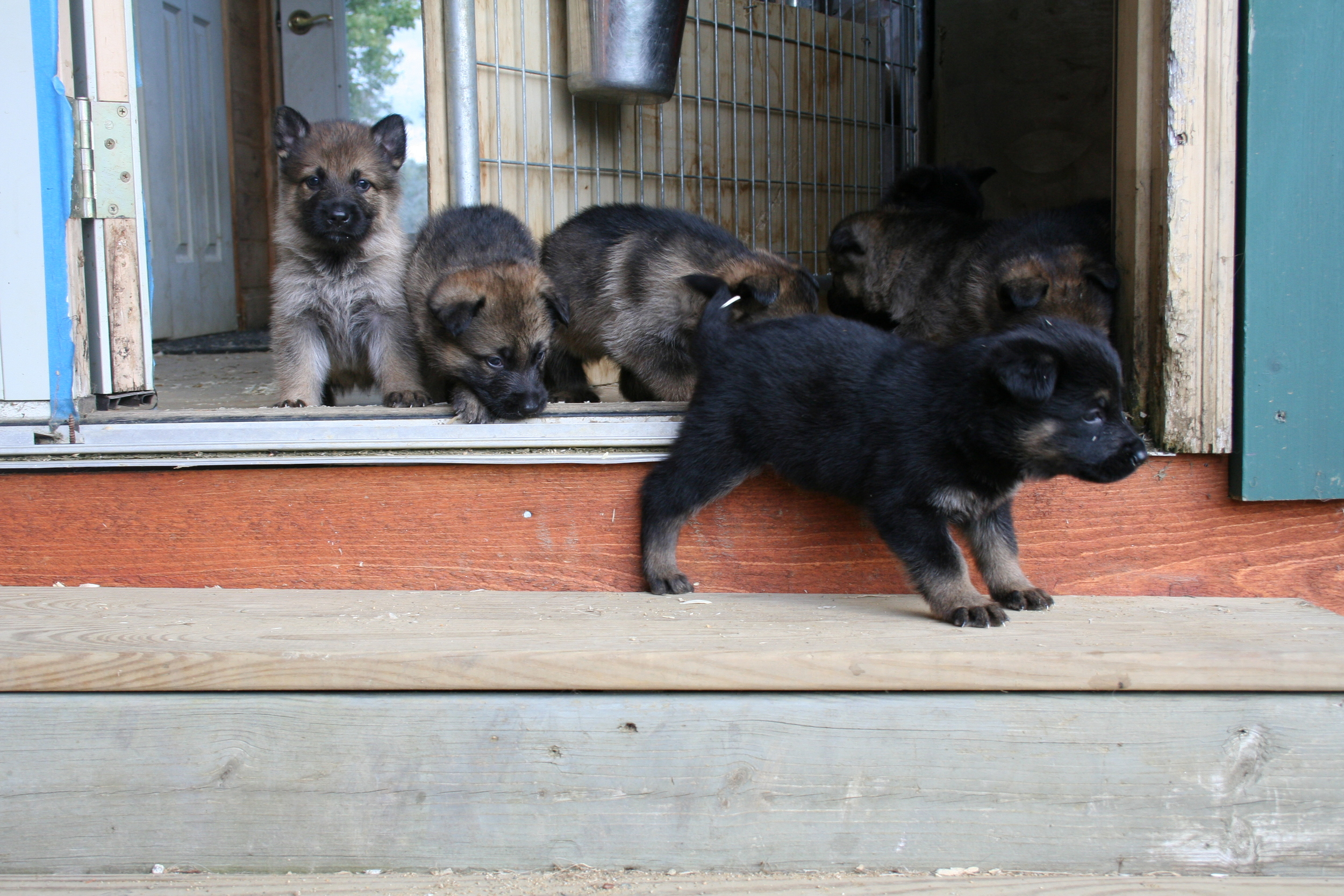B Litter Puppies from Jazz and Drago are all sold.